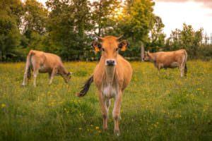 Vaches maraîchines - Photo © Louise Rabiller