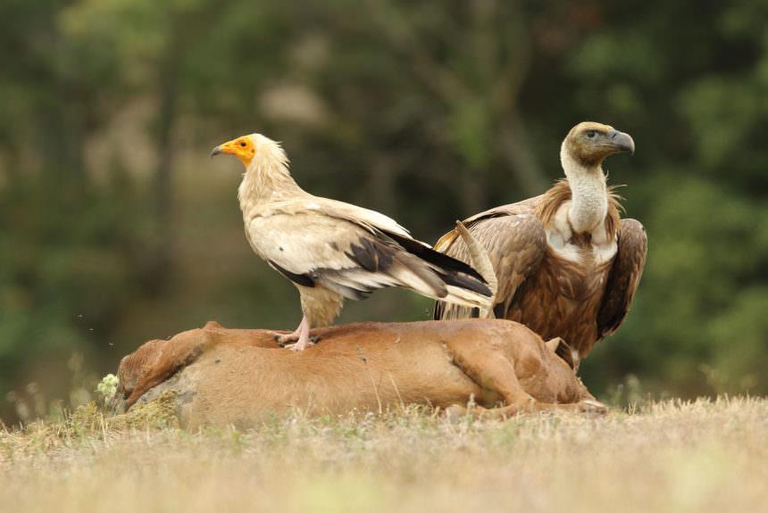 Des vautours et des ours