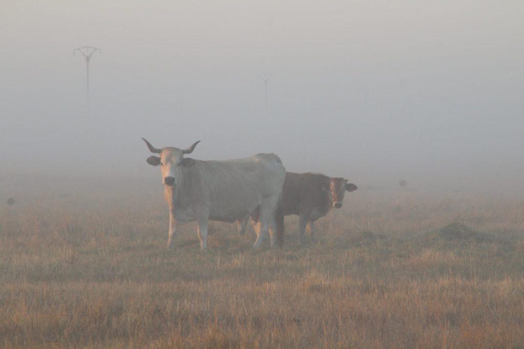 Vaches maraîchines à la ferme des Cochets
