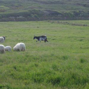 Un article sur les pratiques d'(éco)pastoralisme