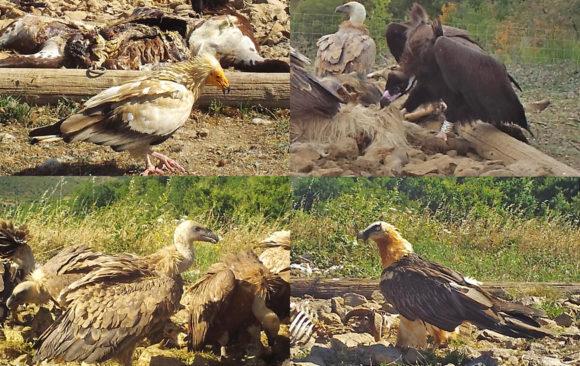 Une placette à vautours… royale !