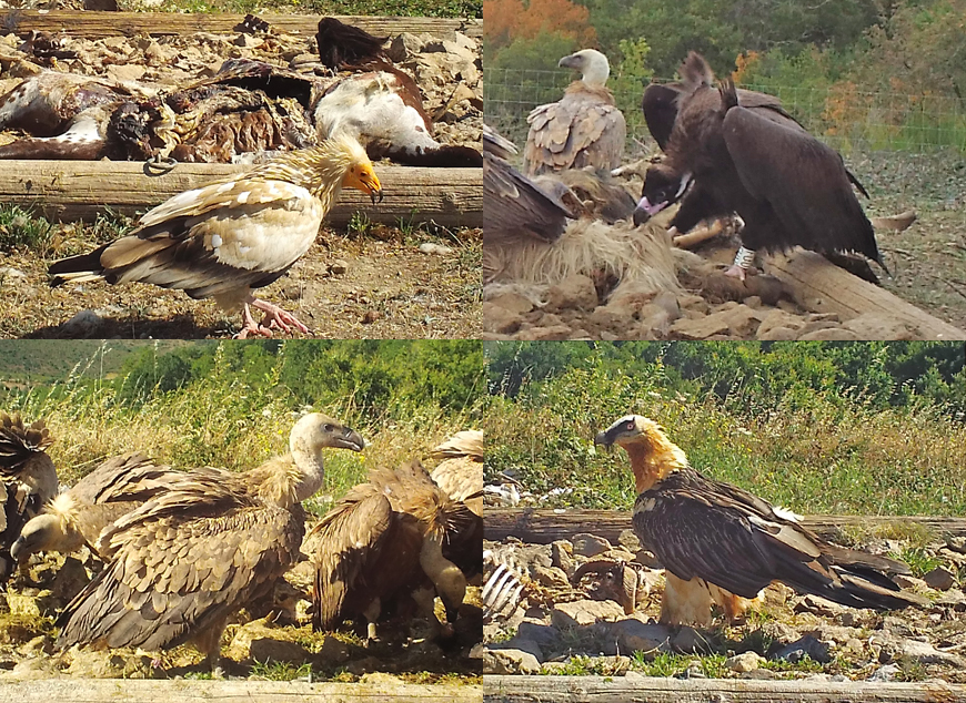 quatuor de vautours