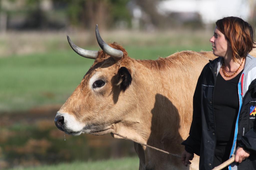 Soizic et une vache maraîchine