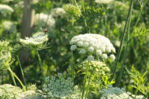 Une abeille et un syrphe dans nos champs de carotte - Photo © l'Aubépin