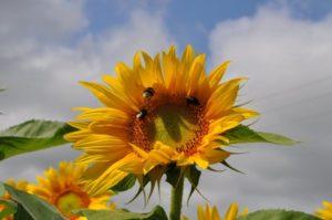 Tournesol et pollinisateurs - Photo © Bertrand Jarri - MNE