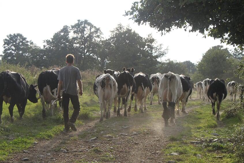 Vaches frisonnes du GAEC Arc en ciel - Photo © Marieke de Kam