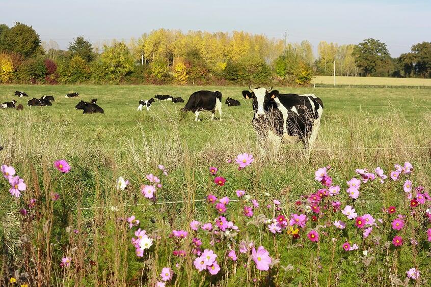 Vaches du GAEC Arc en ciel - Photo © Marieke de Kam